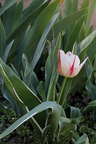 Tulipes flammées (4)