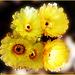 Notocactus veenianus