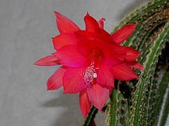 Aporocactus-Disocactus mallisonii