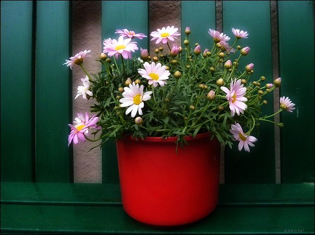 Sonntagsblümchen ✿