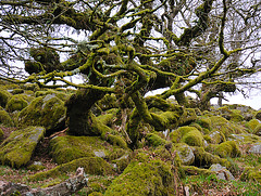 Wistmans Wood - Dartmoor - 120331