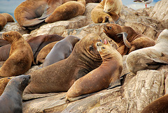 Sea Lions.Milieu Naturel