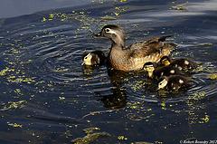 Maman branchu avec ses petits ..