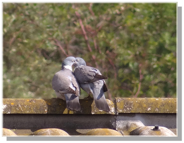 Les deux pigeons ...