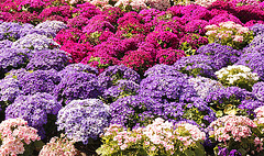 Blumenbeet im Kurpark -  Meran