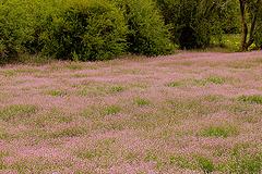 Trockenwiese im Frühjahr (Vinschgau)