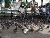 Taubenversammlung