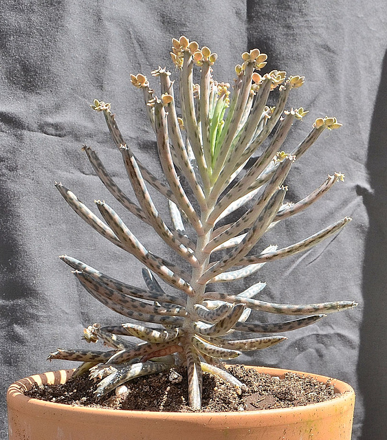 Kalanchoe tubiflora DSC 0156