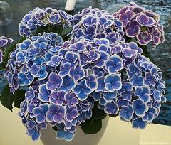 Hydrangea 'Doris paars'
