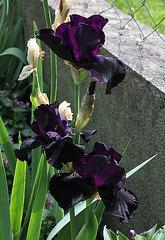 Iris Anvil of Darkness (2)