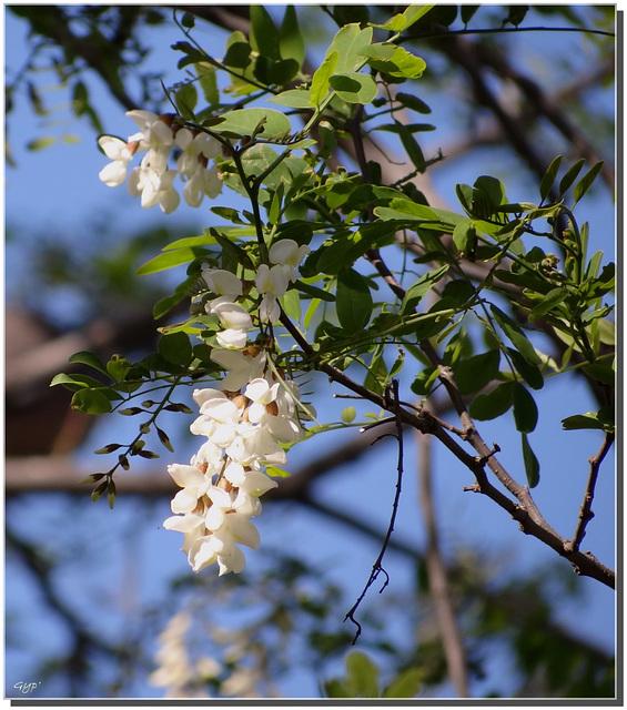 Robinia pseudoacacia en fleurs.