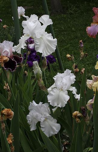 Iris blanc - Skating Party