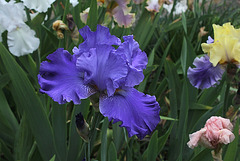 Iris Blenheim Royal (2)