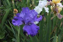 Iris Blenheim Royal (3)
