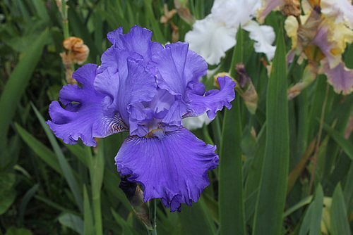Iris Blenheim Royal (4)