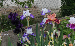 Iris en Melting pot