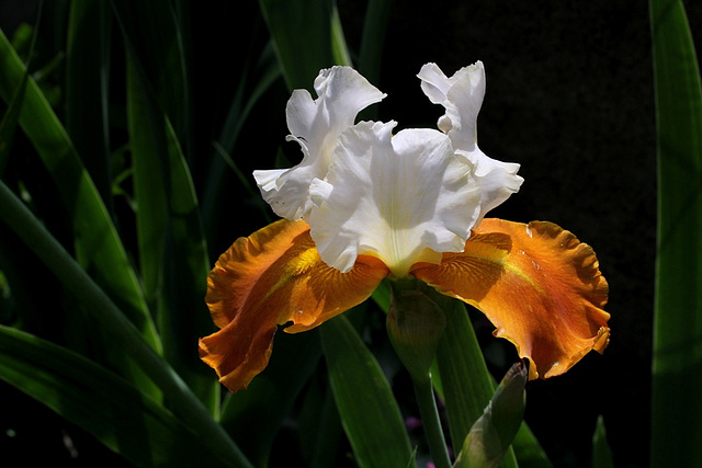 Iris Fall Fiesta (2)