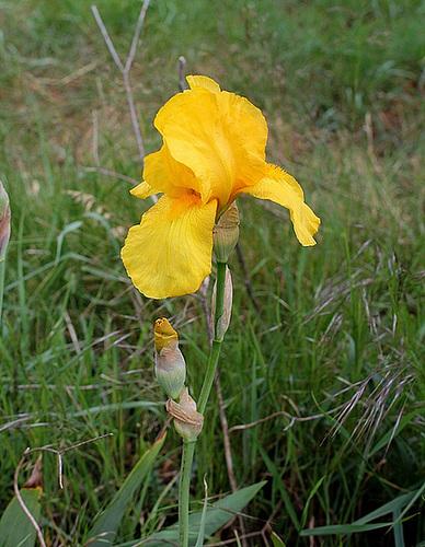 Iris Ola Kala