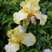 Iris Big Dipper (2)
