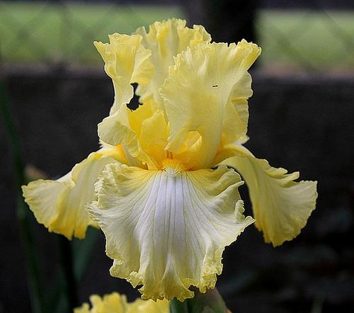 Iris Big Dipper