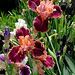 Iris Impressionist (4)