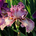 Iris Queen In Calico