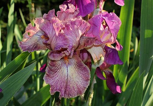 Iris Queen In Calico (2)