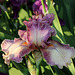 Iris Queen In Calico (3)