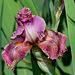Iris Queen in Calico (7)