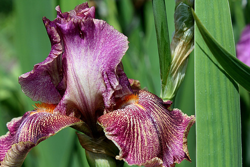 Iris Queen in Calico (8)