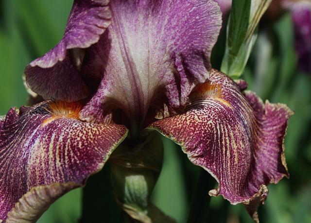 Iris Queen in Calico (9)
