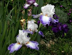 Iris Sixtine