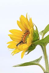 Sonnenblumengenuß ;)