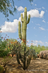 "Saguaro Cactus 2 Boulders Arizona - These cacti do not sprout ""arms"" until they are 70-80 years old.  Some live to 400 years."