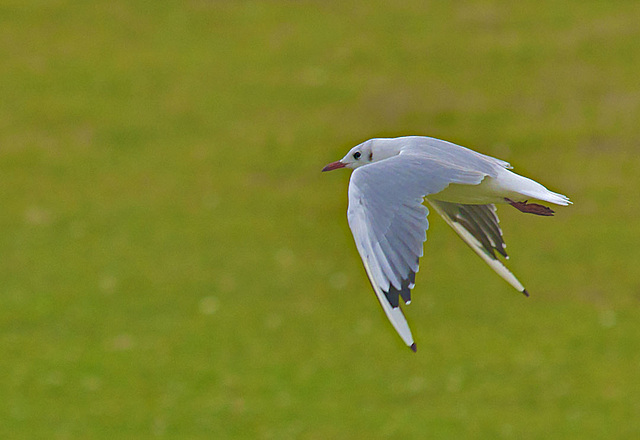 Mouette rieuse-008