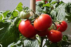 Les tomates de mon balcon.