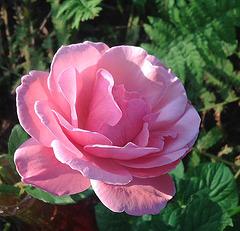 Douce rose