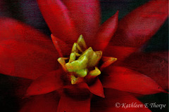 Red Bromeliad French Kiss - Explored March 4, 2012 #445