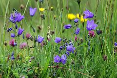 Almwiesenblumen