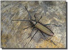 Aromia moschata - femelle.