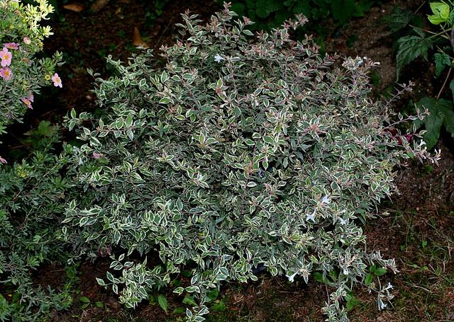 Abelia grandiflora ' Confetti'