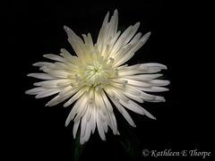 White Fuji Daisy on Black SOOC
