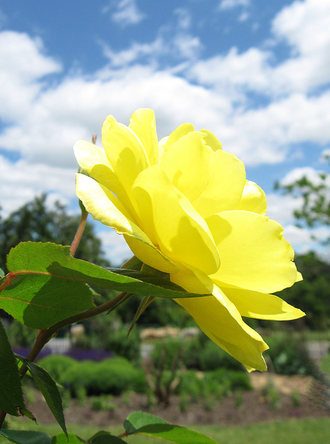 "Rose ""Golden Showers"" (Explored)"