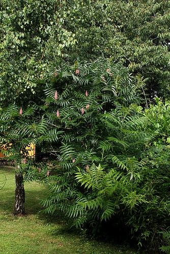 Sumac de virginie - Rhus Typhina