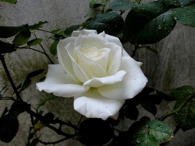 Rosa spp
