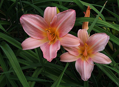 Hémérocalle rose  (2)