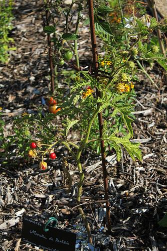 Morelle de Balbis - Solanum sisymbrifolium