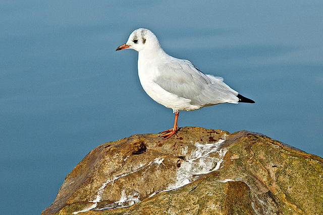 Mouette rieuse-009