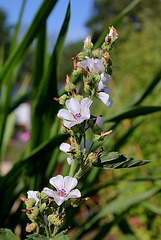 Althaea officinalis- la Guimauve