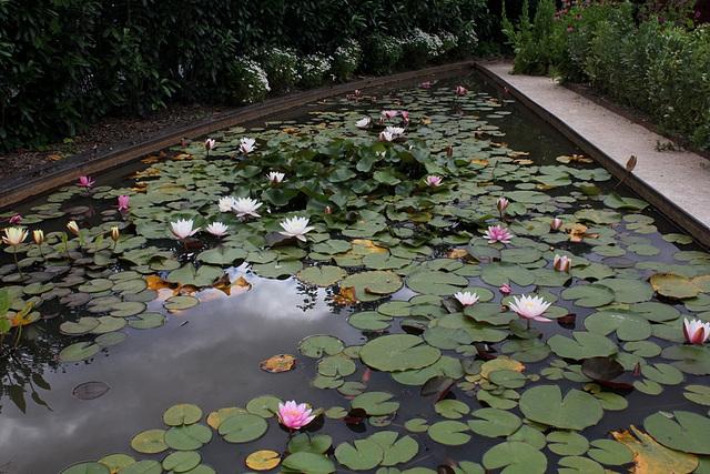 Un bassin du potager , avec ses Nymphea (2)